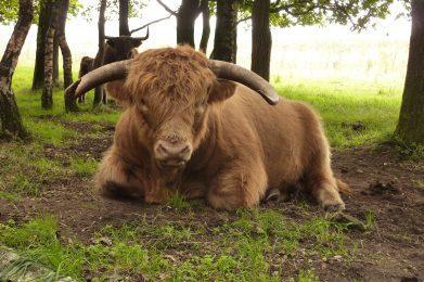 cow-1039185_1920